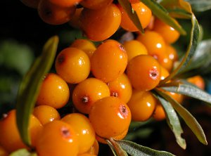Agafia's Sea Buckthorn Personal Care Products